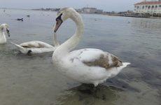 Лебеди в бухте Омега, Севастополь